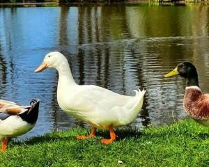 Harvington Ducks.jpg